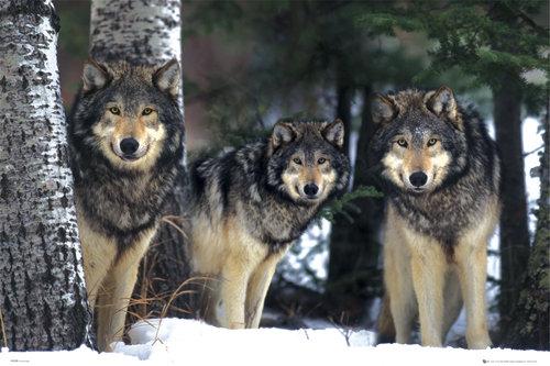 poster-animais-lobos