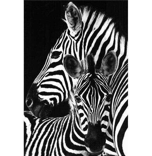 Image of Zebra (Poster Maxi 61x91,5 Cm)