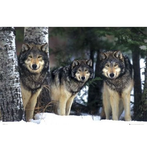 Image of Wolves (Poster Maxi 61x91,5 Cm)