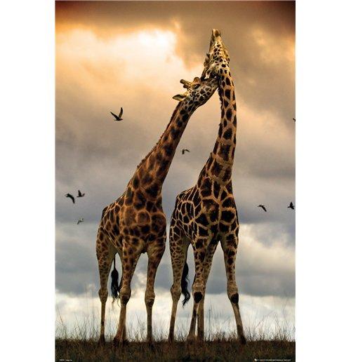 Image of Giraffes - Kissing (Poster Maxi 61x91,5 Cm)