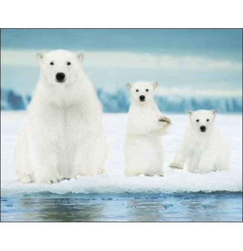 Image of Polar Bears - Family (Poster Mini 40x50 Cm)