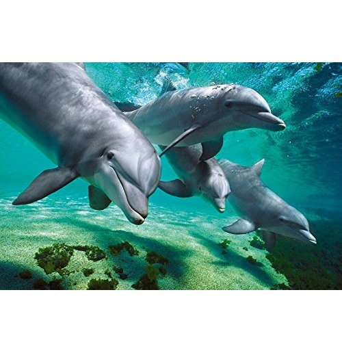 Image of Dolphins - Underwater (Poster Maxi 61x91,5 Cm)
