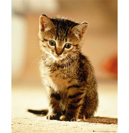 Image of Kitten - Sitting (Poster Mini 40x50 Cm)