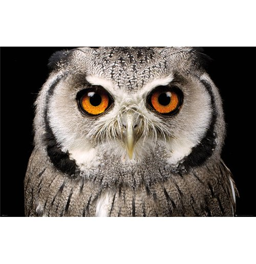 Image of Owl - Face (Poster Maxi 61x91,5 Cm)