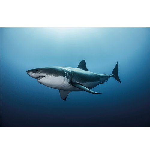 Image of Great White Shark (Poster Maxi 61X91,5 Cm)