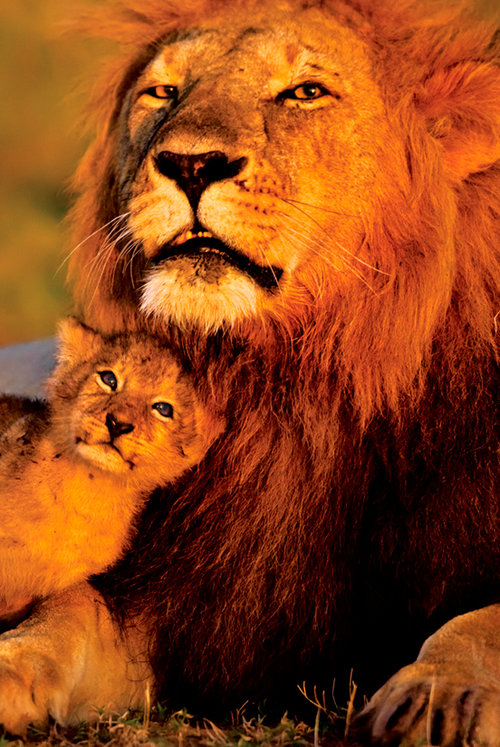 Poster Animali - Lion And Cub