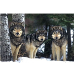 Wolves (Poster Maxi 61x91,5 Cm)