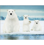 Polar Bears - Family (Poster Mini 40x50 Cm)