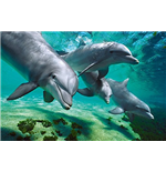 Dolphins - Underwater (Poster Maxi 61x91,5 Cm)