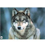 Grey Wolf (Poster Maxi 61X91,5 Cm)